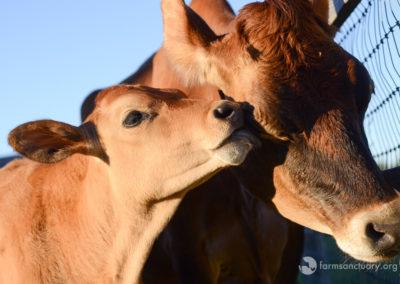 2016_09_FSNY_Liz_cow_and_Cashew_calf_DSC_4251_CREDIT_Farm_Sanctuary
