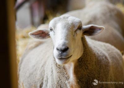 2018_08_FSNY_Francis_sheep_Hoe_Down_DSC_1498_CREDIT_Farm_Sanctuary-2